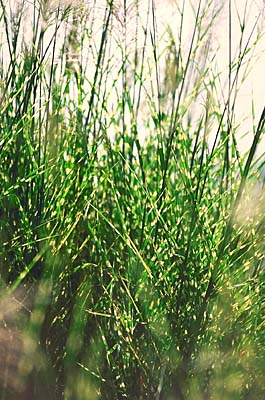 Porcupine Grass Ornamental Grass