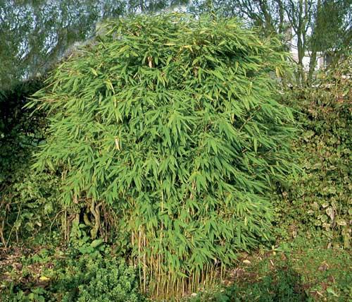 Dragon S Head Hardy Bamboo