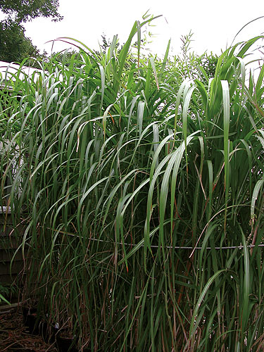 Giant Chinese Ornamental Grass