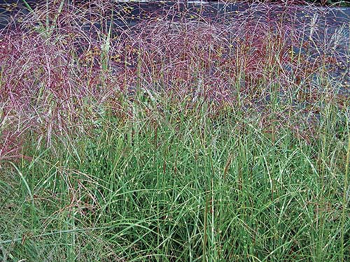 Ornamental grasses hardy bamboo plants for your landscape for Landscaping with zebra grass