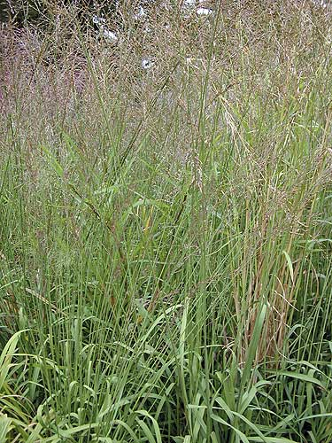 Switch Grass 'Prairie Sky' Ornamental Grass