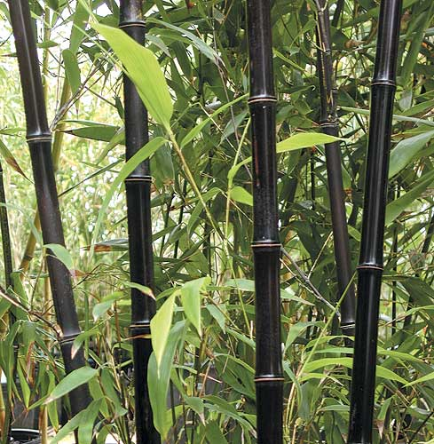 Black Hardy Bamboo Hardy Bamboo Plants For Your Landscape