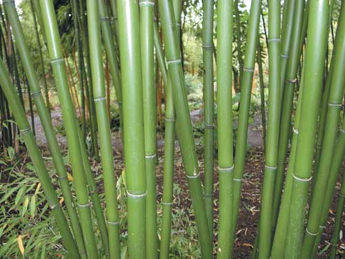 Red Margin Hardy Bamboo